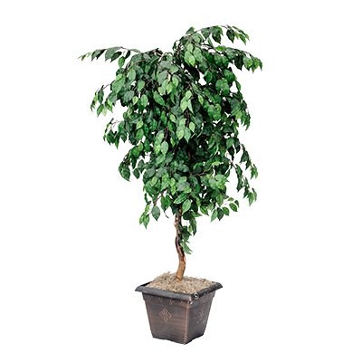 Ficus Tree    www.Raphaels.com - Call to place your rental order today! 858-689-7368 - www.raphaels.com